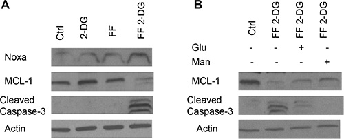 Effects of 2-DG + FF on apoptotic proteins Noxa and Mcl-1.
