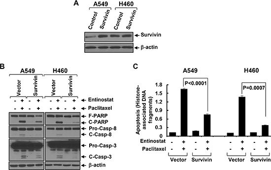 Ectopic expression of Survivin significantly attenuates entinostat potentiation of paclitaxel-induced apoptosis.