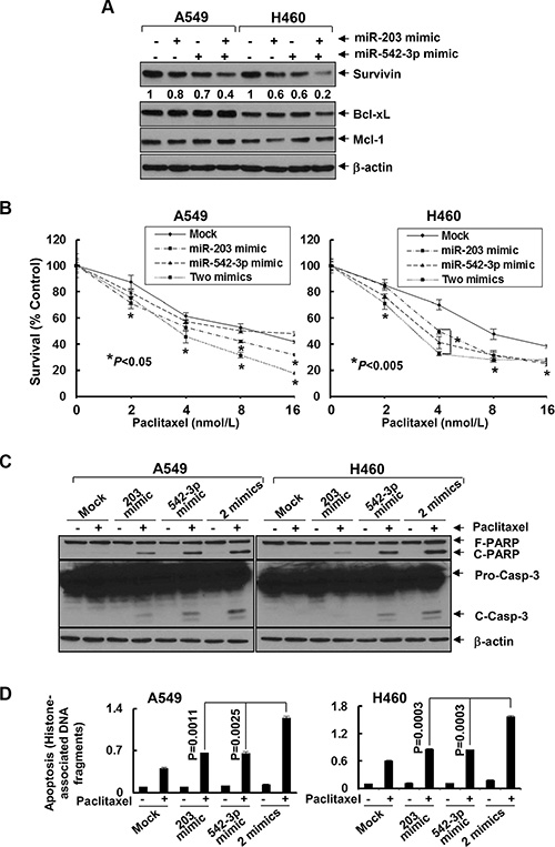 MiR-203 and/or miR-542-3p mimics specifically downregulate Survivin and significantly enhance paclitaxel-induced growth inhibition and apoptosis in NSCLC cells.
