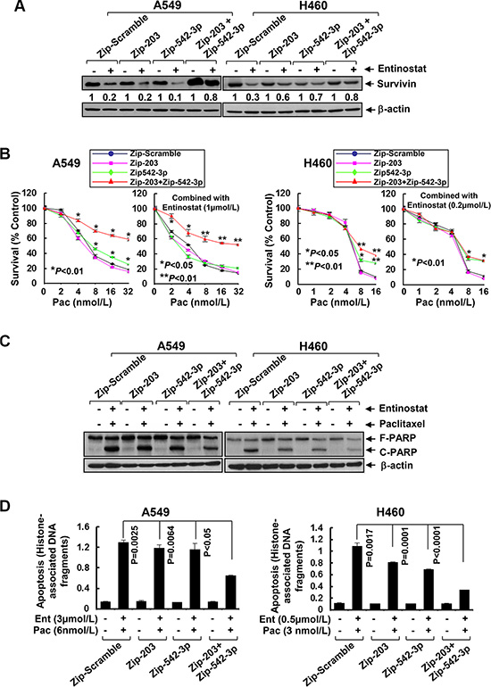 Specific knockdown of miR-203 and/or miR-542-3p reverses entinostat-enhanced paclitaxel-mediated growth inhibition and apoptosis in NSCLC cells.