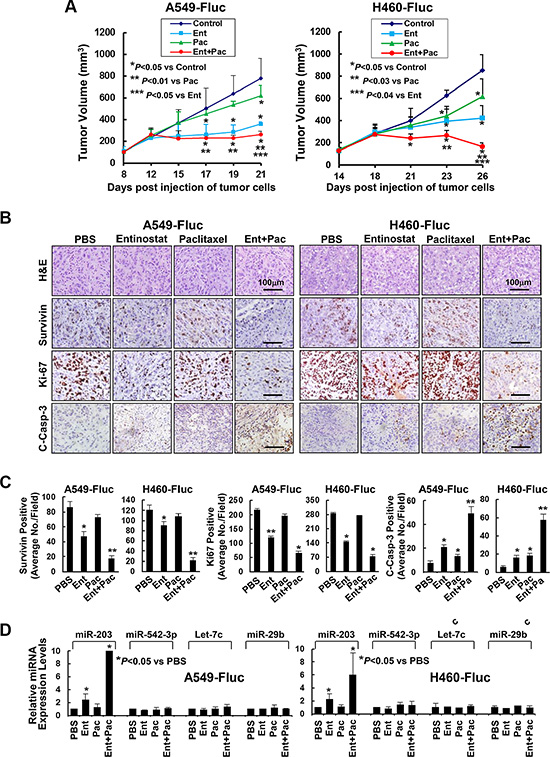 Entinostat in combination with paclitaxel significantly inhibits in vivo tumor growth of NSCLC cells.