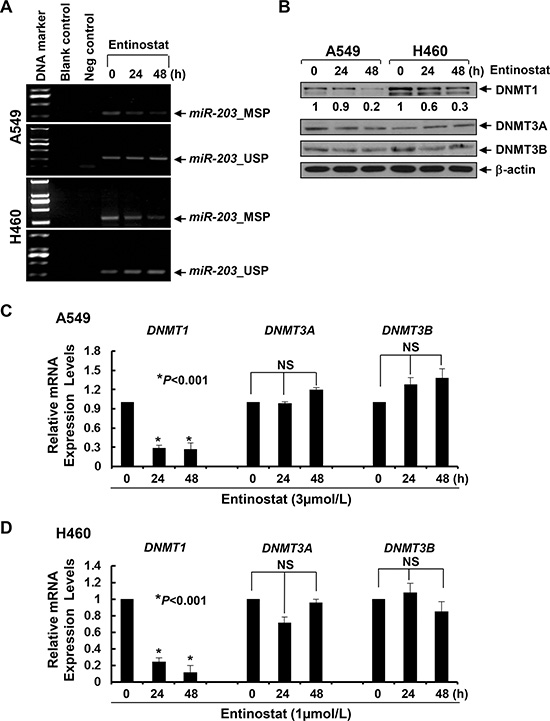 Entinostat demethylates miR-203 promoter in NSCLC cells correlated with the downregulation of both protein and mRNA levels of DNMT1 in vitro.