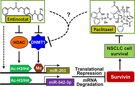 Proposed model underlying the mechanism of entinostat potentiation of paclitaxel-mediated antitumor activity against NSCLC.
