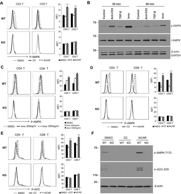 AICAR promotes, but Compound C inhibits, AMPK activation in T cells.