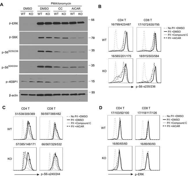 Treatment of AICAR and Compound C inhibits mTOR signaling in T cells.