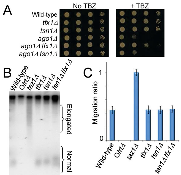 Loss of Tfx1 results in a telomere-defective phenotype, but telomere length is unaltered.