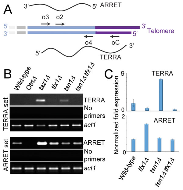 Translin and Trax regulate telomere-associated transcripts in fission yeast cells.