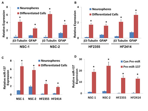 Roles of miR-137 in NSC and GSC differentiation, GSC self-renewal and stemness markers.
