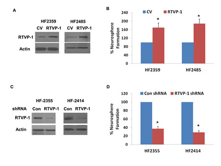 RTVP-1 regulates the self-renewal of GSCs and mediates miR-137 effect.