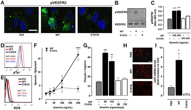 Monomeric gremlinC141A is devoid of pro-angiogenic activity.