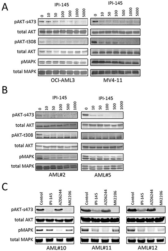 IPI-145 inhibits AKT phosphorylation in AML.