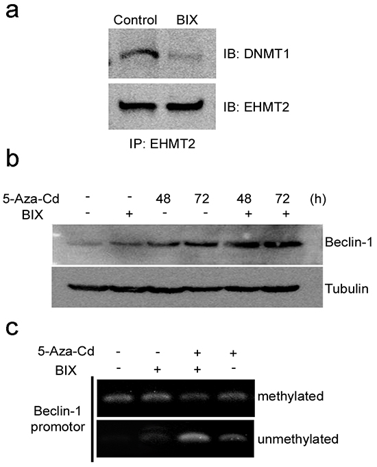 Coordination of DNMT1 and EHMT2 in the suppression of Beclin-1 expression.