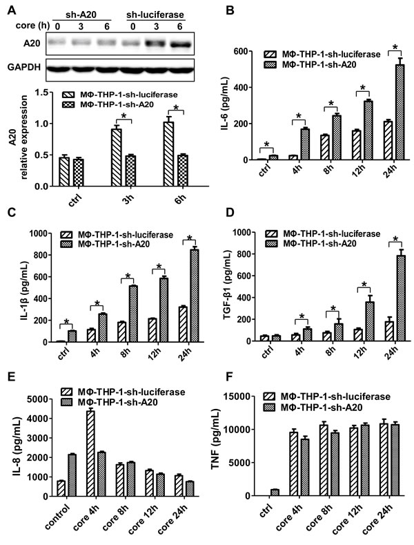 A20 negatively regulates the IL-6, IL-1β and TGF-β1 production.
