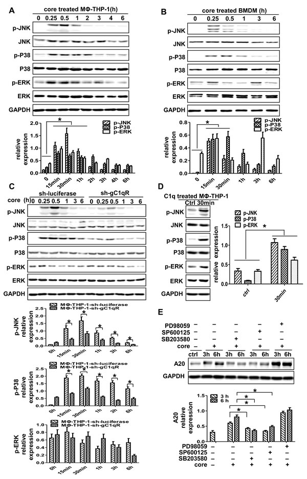 P38 and JNK signaling pathways play pivotal roles in the induction of A20.