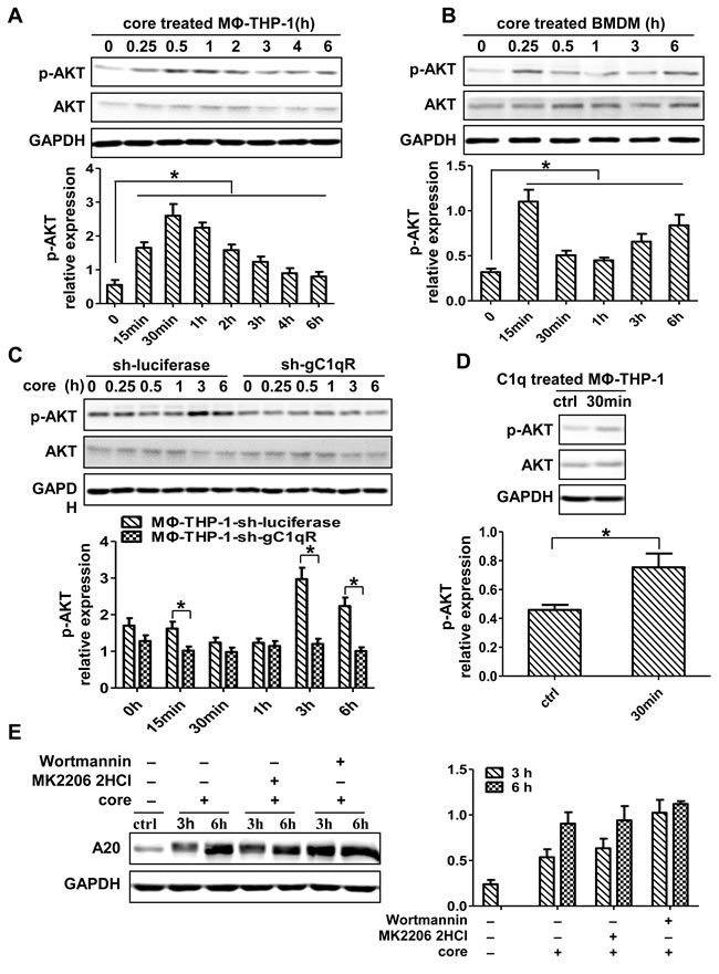 PI3K/AKT signaling pathway has no direct effect on the induction of A20.