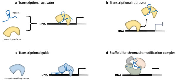 LncRNAs in epigenetic and transcriptional regulation.