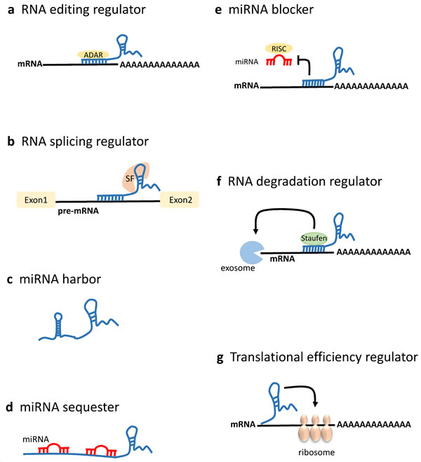 LncRNAs in mRNA processing and post-transcriptional regulation.