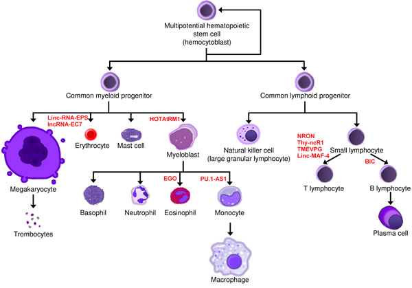 Involvement of lncRNAs in normal hematopoiesis.