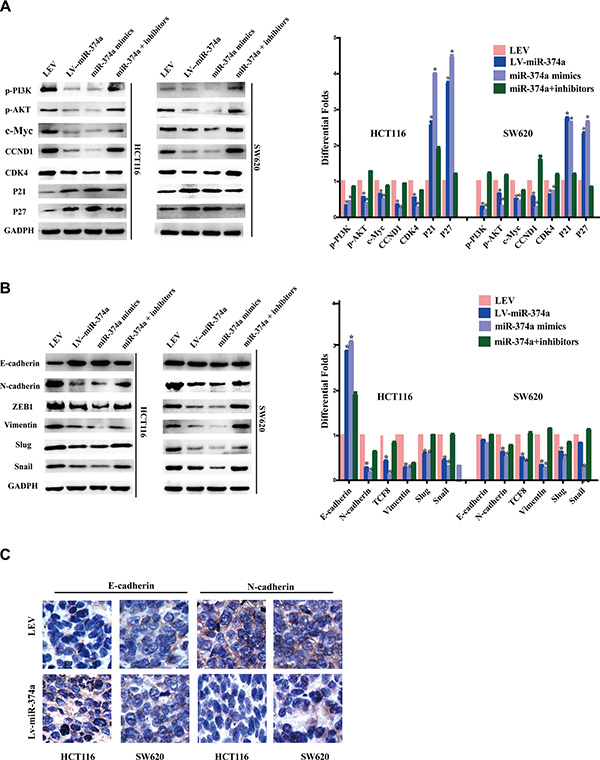 miR-374a is a negative regulator of PI3K/AKT signaling and suppresses cell cycle, invasion and migration relevant genes.