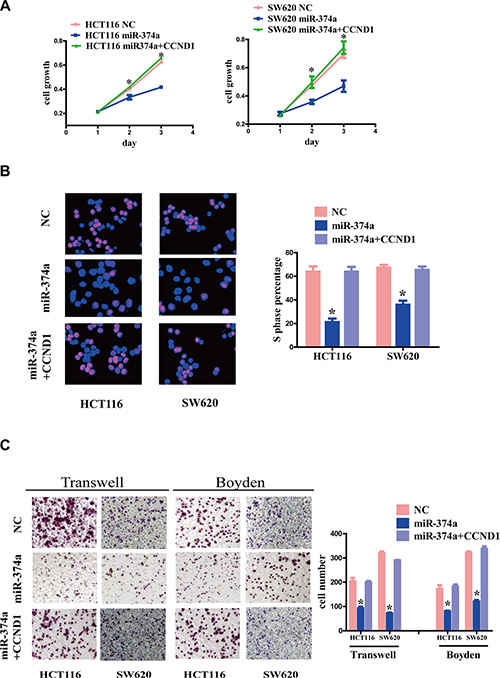 The effect of CCND1 re-overexpression on proliferation, invasion and migration.