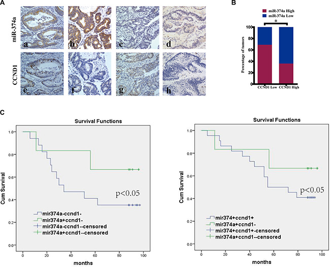 The correlation between miR-374a and CCND1 in colon cancer tissues and their clinical significance.