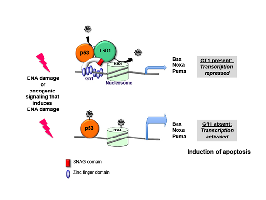 Model of Gfi1 function in T-ALL: p53 dependent transcription of target genes is activated in the absence of Gfi1.