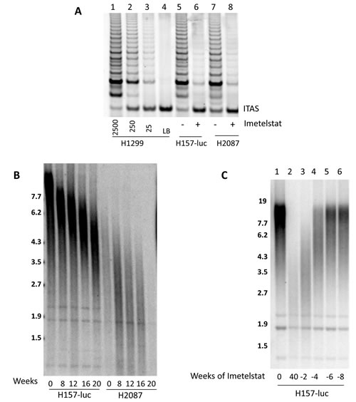 Imetelstat inhibits telomerase and leads to telomere shortening while removal of imetelstat results in regrowth of telomeres.