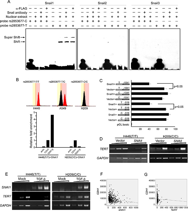 Rs2853677 affects TERT transcriptional regulation by Snail1.