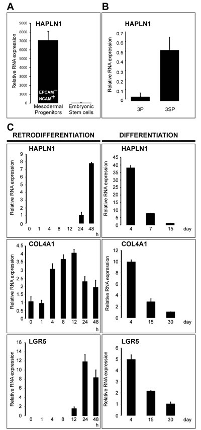HAPLN1 hallmarks early mesoderm commitment of pluripotent hES cells and spontaneous EMT.