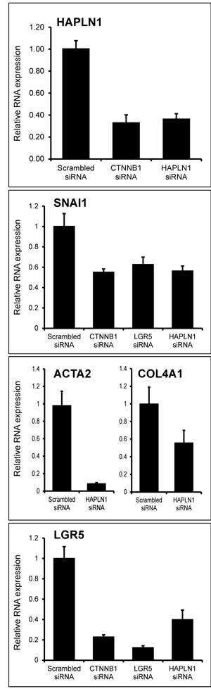 HAPLN1 silencing leads to mesenchymal and stem cell marker loss.