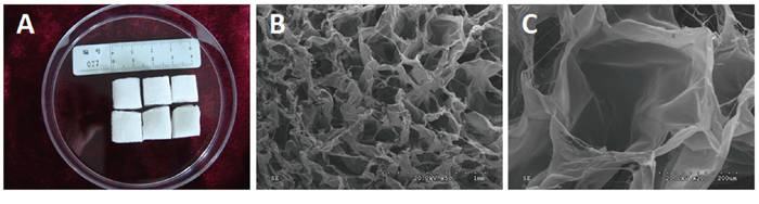Macroscopic morphology and ultrastructure of the three-dimensional porous collagen type I sponge scaffolds.