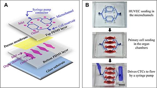 Reconstitution of the microfluidic model.