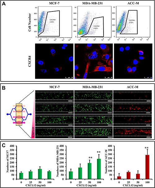 Chemokine-induced metastasis of CTCs in the microfluidic model.