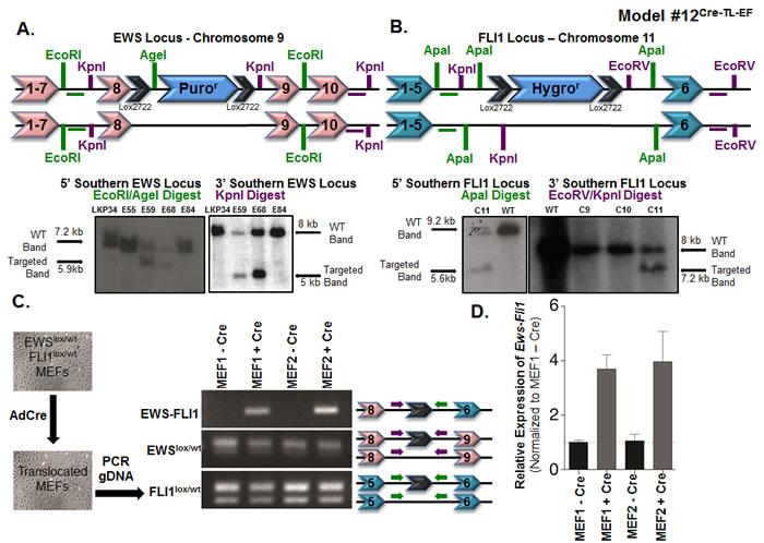 Somatic chromosomal translocation between endogenous