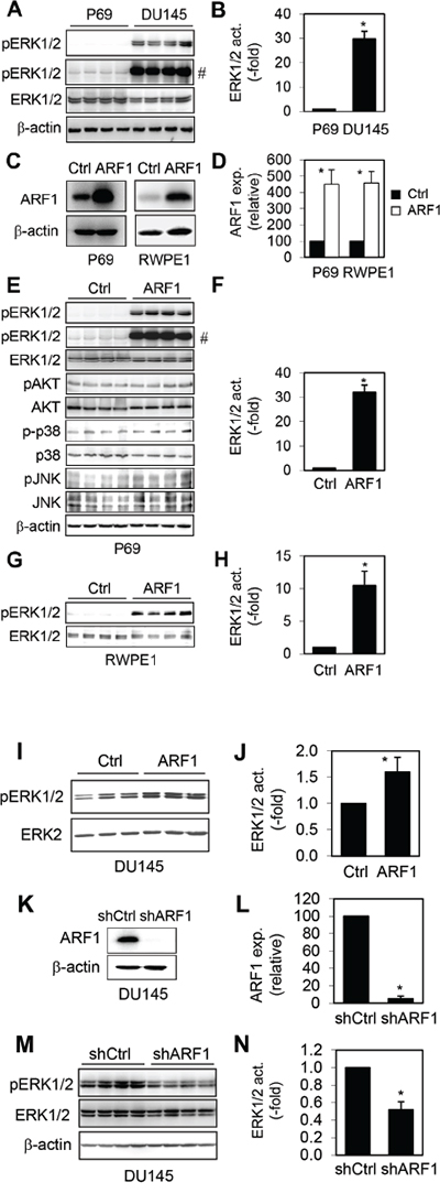 Effect of manipulating ARF1 expression on the activation of ERK1/2 in prostate cancer cells.
