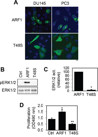Effect of mutating Thr48 on ARF1 localization and its ability to activate ERK1/2 and promote cell proliferation.