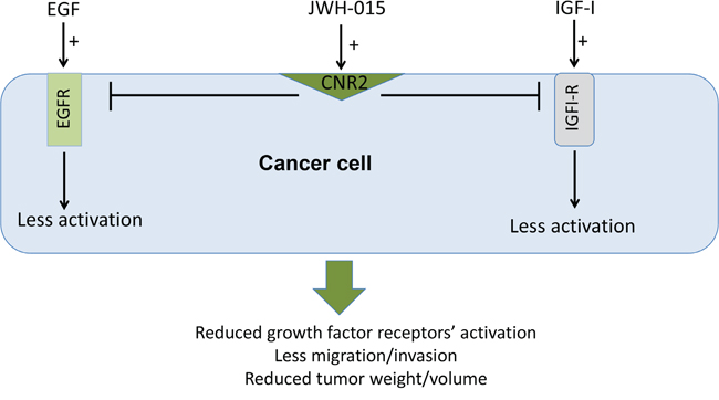 Schematic representation of the anti-tumor role of CNR2 activation in breast cancer.