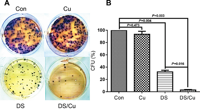 DS/Cu significantly abolishes the colony-forming ability of Nalm6 cells.