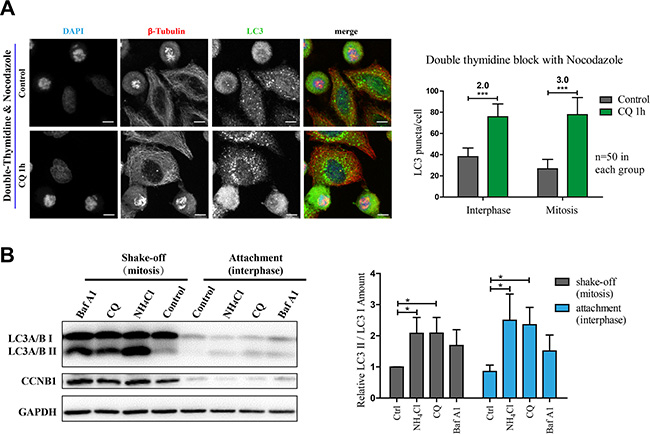 Autophagy is active in nocodazole-induced mitosis.