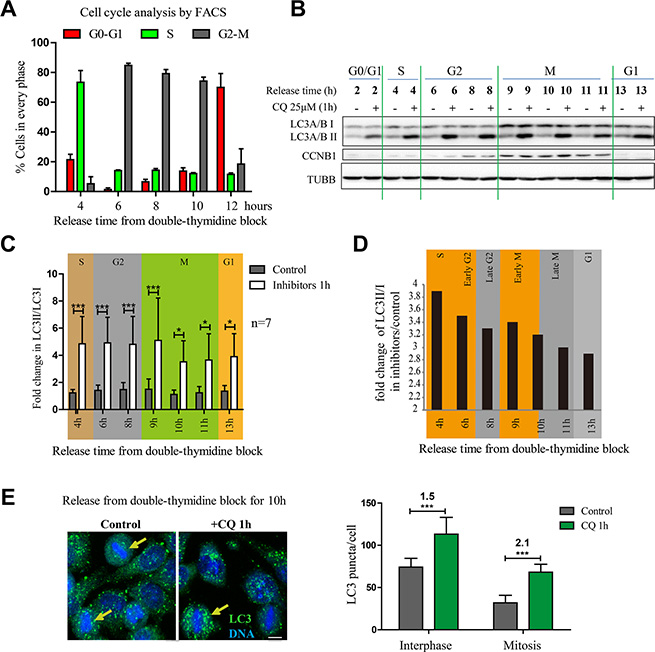 Autophagic flux is active in mitotic cells released from double thymidine block.