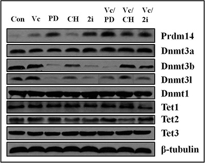 The expression of Prdm14, Dnmt3b and Dnmt3l was altered by PD0325901-containing treatment and Dnmt3a, Dnmt1, Tet1, Tet2 and Tet3 exhibited no change in various culture conditions.