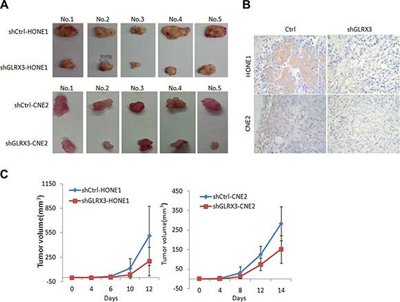 Knockdown of GLRX3 reduced tumorigenicity of NPC cells in nude mice.