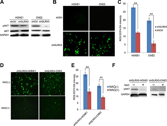 Knockdown of GLRX3 in NPC cells decreases pAKT independent of reactive oxygen species (ROS) generation.