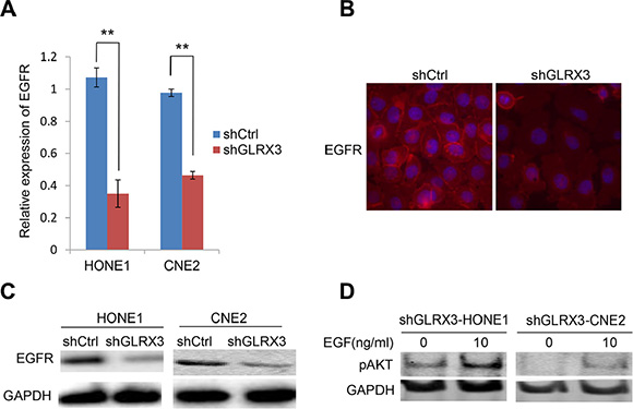 Epidermal growth factor receptor (EGFR) is essential for the effects of GLRX3 on inhibiting pAkt.