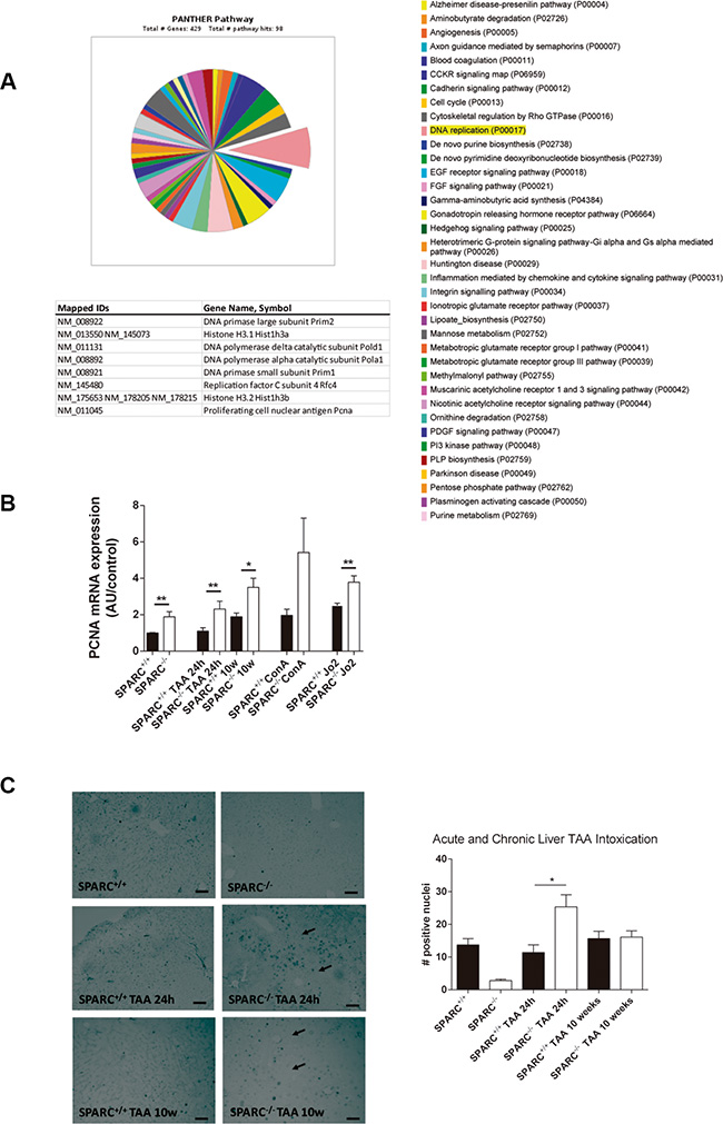SPARC−/− mice revealed increased expression of DNA replication genes.