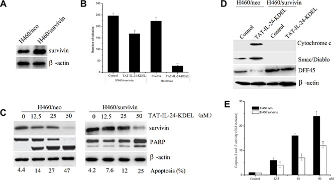 Forced expression of survivin blocks TAT-IL-24-KDEL-induced apoptosis in cancer cells.