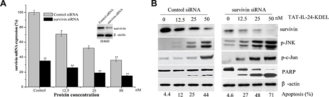 Downregulation of survivin by siRNA sensitizes cells to TAT-IL-24-KDEL-induced death.