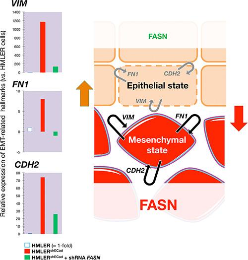 Transient knockdown of FASN gene expression suppresses structural hallmarks of EMT.