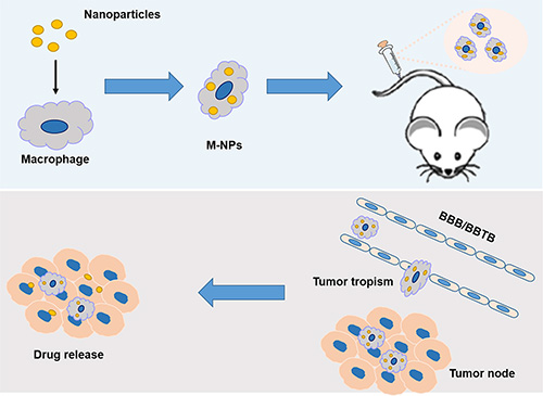 Schematic illustration of the construction of 'Macrophage-NPs' and their targeting delivery into brain tumor.