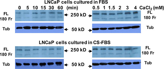 Androgen deprivation does not affect Cao2+-induced filamin A cleavage in LNCaP cells.